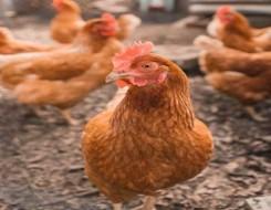 تونس اليوم - إرتفاع أسعار دجاج اللحم عند الانتاج خلال الشهر الماضي في تونس